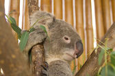 Koala on the tree — Stock Photo