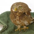 Stock Photo: AsiBarred Owlet (Glaucidium cuculoides)