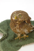 Asian Barred Owlet (Glaucidium cuculoides) — Stock Photo