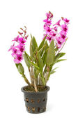 Violet orchid ,thai orchid in flower pot ,isolated — Foto de Stock