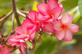 Branch of tropical pink flowers frangipani (plumeria) — Stock Photo