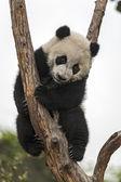 Baby Panda — Foto de Stock