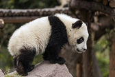 Young Panda — Stock Photo