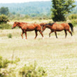 Two horses in a field - Stock Photo