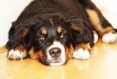 Gorgeous bernese puppy — Stock Photo