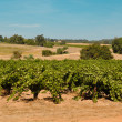 California Wine Vineyard — Stock Photo