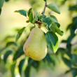 Pear hanging from a branch — Stock Photo