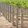Rows of Grapes on the Vine — Stock Photo