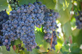 Red Wine Grapes on the Vine — Stock Photo