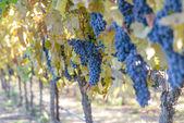 Vineyard in Autumn — Stock Photo