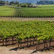 Stock Photo: Napa Valley Vineyard