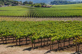 Napa valley vineyard — Stock fotografie