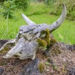 Stock Photo: Cow Skull on Rock