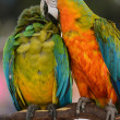 Two Colorful Macaws - Stock Photo