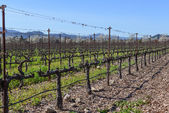 Rows of Vines in the Vineyard — Stock Photo