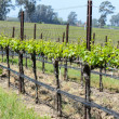 Napa Valley  California Vineyard in Spring — Foto de Stock