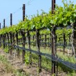 Vineyard in Spring — Foto Stock
