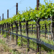 Vineyard in Spring — Stock Photo
