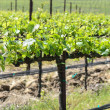 Vineyard in Spring — Stock Photo #25191681