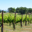 Grape Vines in a Row — Stock fotografie