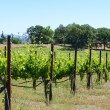 Grape Vines in a Row — Stockfoto