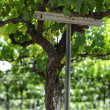 Grapes on the Vine in Spring — Stockfoto