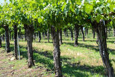 Grape Vines in a Row — Stock Photo