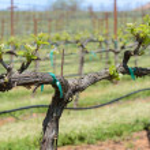 Grapevine bahar — Stok fotoğraf