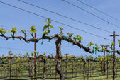 Grapevine in Spring with Blue Sky — Stock Photo