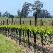 Grapevines in a Row — Foto Stock