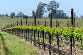 Grapevines in a Row — Stock Photo