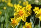 Narciso amarillo — Foto de Stock