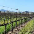 Grapevines in a Row in Napa Valley California — Stock Photo
