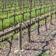 Grapevines in a row in Napa Valley California — Photo