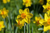 Yellow Daffodil — Stockfoto