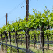 Grapevines in Spring — Stock Photo #27237501