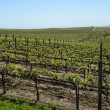 Napa Valley Grape Vineyard in Spring — Photo
