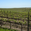 Napa Valley Grape Vineyard in Spring — 图库照片