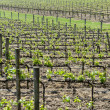 Wine Vineyard in Spring — Foto Stock