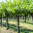 Grapevines in Spring — Stock Photo #28835919