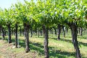 Wijnstokken in het voorjaar — Stockfoto