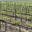 Grapevines in NapValley California — Stock Photo #29669605