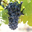 Red Wine Grapes on the Grapevine — ストック写真