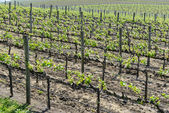 Grapevines in Napa Valley California — Stock Photo