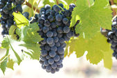 Red Wine Grapes on the Grapevine — Stock Photo