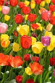 Tulip Garden in Spring — Stock Photo