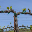 图库照片: Grapevine in the Spring with Blue Sky