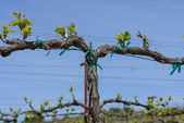 Grapevine in the Spring with Blue Sky — Stock Photo