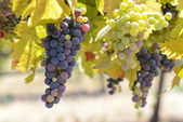 Green and Red Grapes on the Vine — Stock Photo