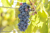 Red Grapes on he Vine — Stock Photo
